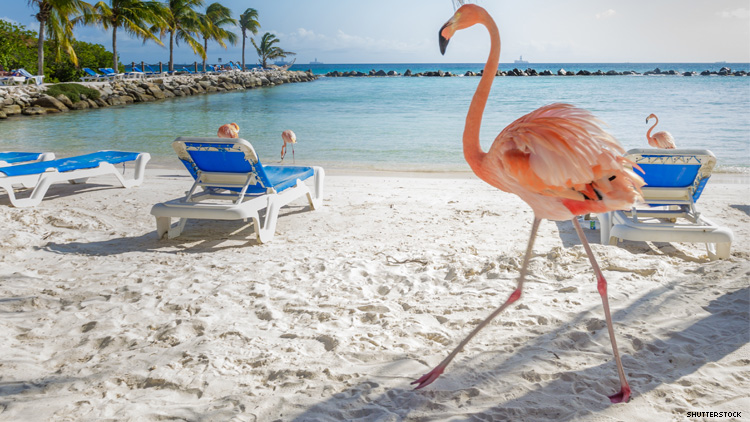 Flamingos on an Aruba beach
