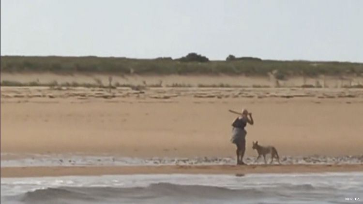 A woman wave stick at coyote on P-town beach