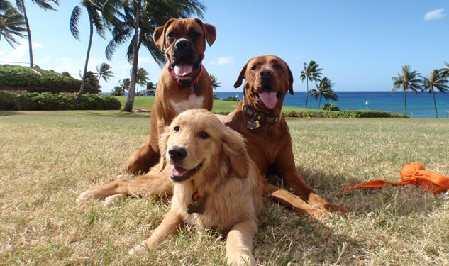 Hawaii Turns to Tourists to Ease Stray Dog Problem